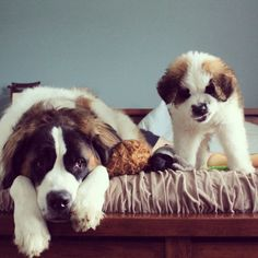big and little saint bernards. My Sasha used to snarl smile like that! Big Dogs, Cute Dogs, Dogs And Puppies, Doggies, Dog Photos, Dog Pictures, Baby Animals, Cute Animals, Wonder Pets