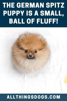 The German Spitz puppy is a small, cotton ball of fluff and sweetness! As with most smaller dogs, this dog has very few puppies in each litter, the average being somewhere between 1 and 5 puppies. Read on for more details. German Spitz, German Dogs, Spitz Puppy, Pomeranian, Small Dogs, Dog Breeds, Teddy Bear, Puppies, Mom