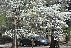 Dogwood Bloom Watch : Making Memories in Davey Dogwood Park - Dogwood Trails in Palestine, Texas