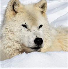 "GANKOR TOURS on Instagram: ""#arcticwolf #thursdaymood #sunnywinterday #outdoors #canadian #wildlife #parcomega & #gankortours #safetyfirst #privatetours #daytours…"" Canadian Wildlife, Arctic Wolf, Winter Day, Day Tours, Polar Bear, Outdoors, Dogs, Animals, Instagram"