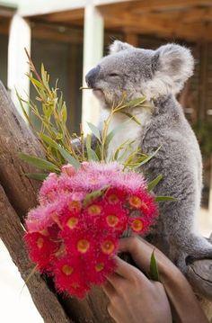 Le Symbio Wildlife Park, situé à Helensburgh en Australie, a dévoilé de nouvelles images d'Imogen, le petit koala. Il s'agit de photos et d'une vidéo prises à l'occasion de la Saint-Valentin: pour la deuxième fête des amoureux du jeune marsupial, les soigneurs lui ont offert un petit bouquet de fleurs, qu'elle a contemplé sur une branche avant de dévorer de l'eucalyptus placé au sein de ce petit cadeau de Saint-Valentin. Sur sa page Facebook, le Symbio Wildlife Park a partagé la vidéo.