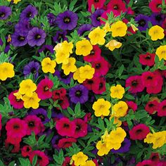 calibrachoa seeds: Gold And Bold Minifamous Calibrachoa Annual Plant Collection