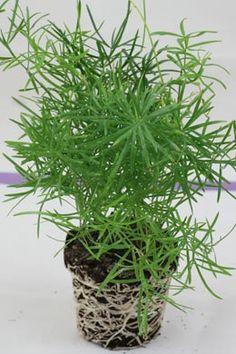 Asparagus densiflorus (Zierspargel)