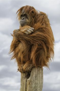Taken on a somewhat cold winter day in December of I have seen this orangutan perched on top of this pole a view times. Orangutans are among the most intelligent primates. Primates, Mammals, Nature Animals, Animals And Pets, Funny Animals, Cute Animals, Beautiful Creatures, Animals Beautiful, Photo Animaliere