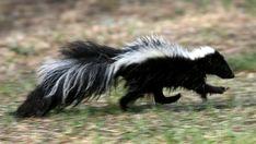 Meet the Alberta skunk whisperer immune to their noxious spray Barnyard Animals, Zoo Animals, Cute Animals, Getting Rid Of Skunks, Skunk Spray, Skunk Smell, Cat Crate, Nature's Miracle, Red Deer