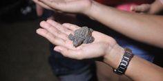 Liberan 500 crías de tortuga golfina en Puerto Vallarta