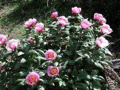 Rose di bosco- s'arrosa de padenti- Sardinia-Cerdeña - Wild _