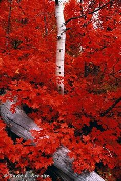 colors red leaves and white birch-so lovely