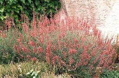 Drought Tolerant Perennial Plants - Check out the free plant identification mobile app at GardenAnswers.com