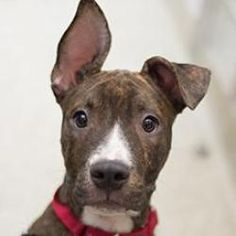 Tanker is an #adoptable Pit Bull Terrier Dog in #WashingtonDC. Hello! I'm a 5 month old male Terrier/Pit Bull Mix who is just super excited to join your life. I have lots and lots of energy and would ...