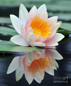 ❤ White Lotus - Water Lily with Reflection Photograph  - Fine Art Print