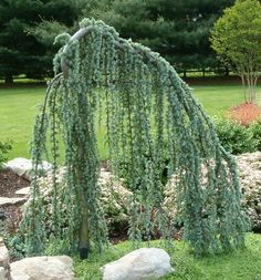 front yard - Weeping Blue Atlas Cedar