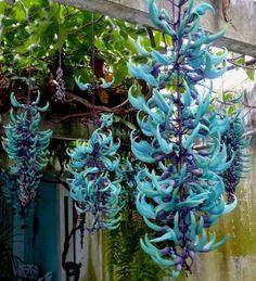 Jade Azul (Strongylondon macrobothrys)
