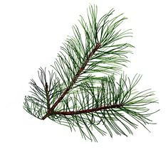 drawings of pine cones and pine boughs   Shared By: melinda 04-21-2011