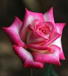 Beautiful Rose Flowers, Love Rose, Flowers Nature, Amazing Flowers, Flowers In Hair, Beautiful Gardens, Purple Flowers, Rose Reference, Special Flowers