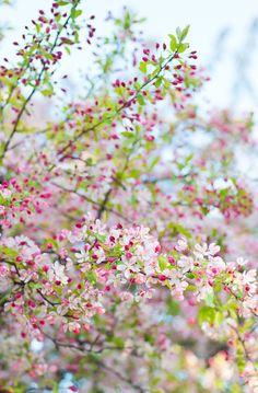 """Blossom by blossom the spring begins. Spring Blossom, Spring Is Here, Spring Time, Flowering Trees, Flowering Crabapple, Dream Garden, Belle Photo, Spring Flowers, Flowers Garden"