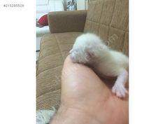 Hayvanlar Alemi / Evcil Hayvanlar / Kedi / Siyam