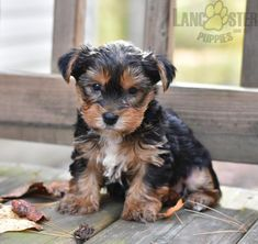 #YorkshireTerrier #Charming #PinterestPuppies #PuppiesOfPinterest #Puppy #Puppies #Pups #Pup #Funloving #Sweet #PuppyLove #Cute #Cuddly #Adorable #ForTheLoveOfADog #MansBestFriend #Animals #Dog #Pet #Pets #ChildrenFriendly #PuppyandChildren #ChildandPuppy #LancasterPuppies www.LancasterPuppies.com Lancaster Puppies, Indoor Pets, Yorkshire Terrier Puppies, Small Breed, Puppies For Sale, Mans Best Friend, Yorkie, Puppy Love, Yorkies
