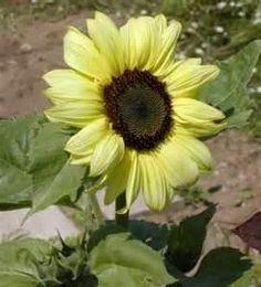 Lemon Queen Sunflower...love, love, love the lemon yellow color!!!