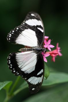 I want these black and white butterflies to be released at my funerL ...along with plain white ones