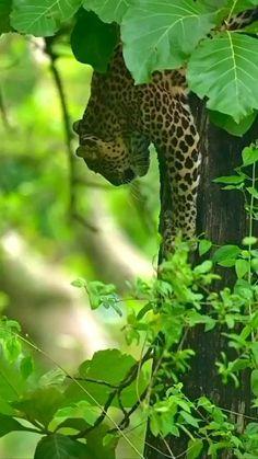 Nature Gif, Wild Nature, Science And Nature, Big Animals, Nature Animals, Animals And Pets, Big Cats, Cool Cats, Cat Anatomy