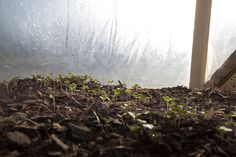Winter greens in my cold frame are jumping out at Easy Tiger permaculture farm.