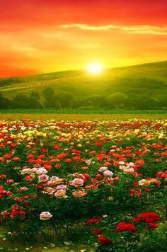 Beautiful shot of a field of flowers with the sun just behind a hillside Sunrise Sunset Dunno Can t find a source for this one Beautiful though Wonderful red and orange colors in the sky Love the trees in the background too Beautiful Nature Pictures, Beautiful Nature Wallpaper, Nature Photos, Amazing Nature, Beautiful World, Beautiful Landscapes, Beautiful Gardens, Beautiful Flowers, Landscape Photography