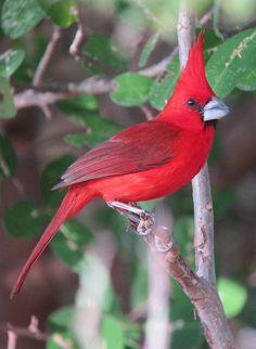 Vermillion Cardinal