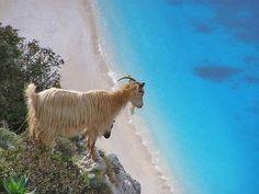 Even goats enjoy the views over #Myrtos beach in #Kefalonia, #Greece.