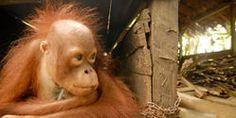 SAVE THE SUMATRAN ORANGUTAN FROM EXTINCTION — http://www.thepetitionsite.com/takeaction/964/122/647/
