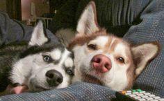 Loki & Thor's Dog Life: Walks and Play Time. Adorable Siberian Husky cuddle!