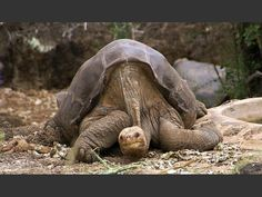 The Pinta Island Tortoise, a subspecies of the Galápagos tortoise, may be the most recent large animal to be declared extinct. The last of the line, the over 100-year old male dubbed Lonesome George (that's him, above), died on June 24, 2012 from heart failure.