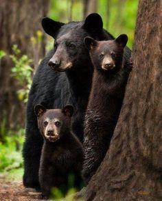 Who said the Three Bears was a fairy tale? Arkansas Black Bear Family - Animals to Behold! The Animals, Baby Animals, Funny Animals, Wild Animals, Baby Pandas, Baby Bears, 3 Bears, Panda Bears, Beautiful Creatures