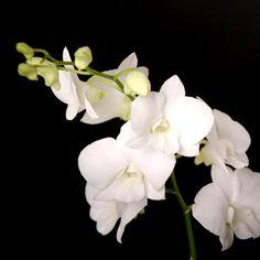 Certi Dendrobium Emma White, witte orchidee, kamer orchideeën, bloeiende kamerplanten, phalaenopsis, #Bloemen, #Planten, #webshop, #online bestellen, #rozen, #kamerplanten, #tuinplanten, #bloeiende planten, #snijbloemen, #boeketten, #verzorgingsproducten, #orchideeën