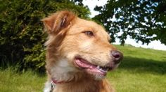 copper is an adoptable Golden Retriever Dog in Fox Valley, WI. Copper is a sweet boy who once was a stray, but is now looking for a forever home. He is currently housed with other dogs and cats. He do...
