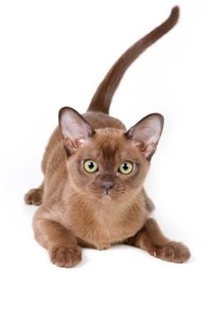 The roots of the Burmese #cat date back to the 16th century and possibly even earlier. A Thai manuscript called #Cat-Book of Poems describes this cat breed as supalak or copper cat.