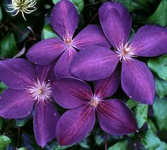 Klehm's Song Sparrow Farm and Nursery--Clematis--'Madame Grange'
