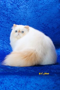 Flame Point Himalayan - Learn more about the breed at www.cfainc.org