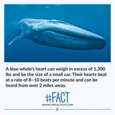 A blue whale's heart can weigh in excess of lbs and be the size of a small car. Their hearts beat at a rate of beats per minute and can be heard from over 2 miles away. Creepy Facts, Wtf Fun Facts, Funny Facts, Unusual Facts, Interesting Facts, Blue Whale Heart, Mind Blowing Facts, Daily Facts, Animal Facts