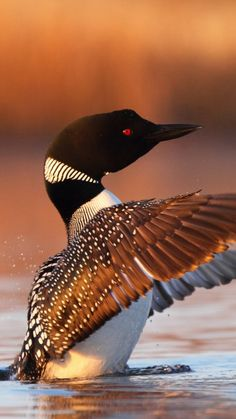 "(Greater Northern Loon ) * * "" DUCK: "" Yoo can'ts always control wut kinda loonatic walks into yer life, but yoo kin chase em outta de pond yer in. """
