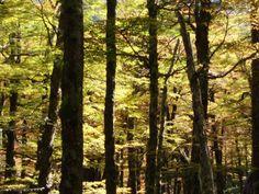 Lenga forest, bosque de Lengas. Foto: slimiti.com