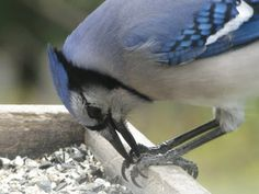 Tails of Birding: Why You Should Love Blue Jays at Your Feeders