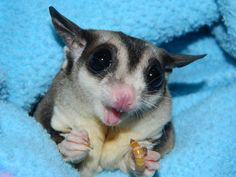 Are Sugar Gliders Good Pets? Sugar gliders are taken into consideration unusual and also unique pets in the United States, so they are not legal in every Amazing Animals, Unusual Animals, Like Animals, Animals And Pets, Baby Animals, Exotic Animals, Sugar Glider Baby, Sugar Gliders, Sugar Bears