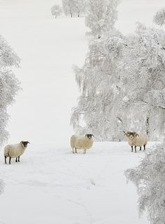 Sheep in the snow ~ Cairngorms, Scotland