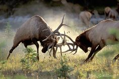 Bob Schillereff Photography | Elk | Rocky Mountain Elk 4006