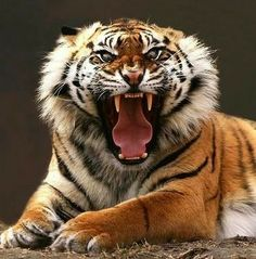 600 pound killing machine which is the largest of the 4 big cats TB angry tiger Zoo Animals, Animals And Pets, Cute Animals, Wild Animals, Angry Animals, Big Cats, Cool Cats, Beautiful Cats, Animals Beautiful