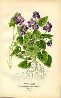 Botanical illustration of Violets (Violets have the most beautiful scent)