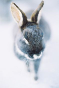 Cute pictures, pics, photos & images of the cutest animals around. Beautiful Creatures, Animals Beautiful, Baby Animals, Cute Animals, Cute Bunny, Bunny Bunny, Grey Bunny, Bunny Art, Easter Bunny
