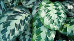 "At night, the leaves of the prayer plant, also called a calathea, fold up as if it's praying (hence, the name). It appreciates living in moist soil and yields ""pretty foliage,"" says Nejman.   - HouseBeautiful.com"