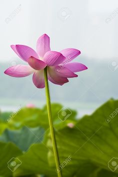 Beautiful Lotus Stock Photo, Picture And Royalty Free Image. Image 14942226.